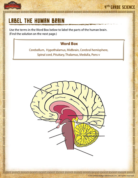 label the human brain view 4th grade science worksheet online school of dragons. Black Bedroom Furniture Sets. Home Design Ideas