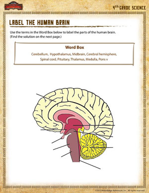 Label The Parts Of The Brain Worksheet